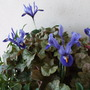 Four Iris reticulata in bloom (Iris reticulata (Iris))