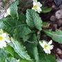 Primrose plant (Primula vulgaris (Native primrose))