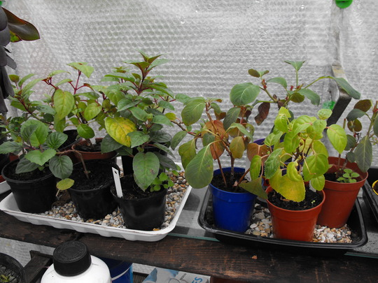 Fuchsia cuttings seem to have made it through the winter......