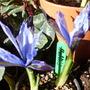 HALKIS (Iris reticulata (Iris))