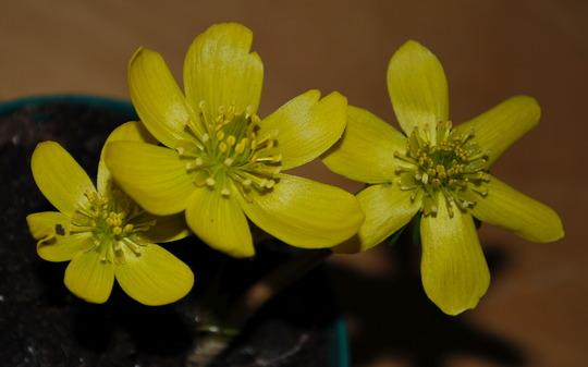 Eranthis hyemalis. (Eranthis hyemalis (Winter aconite))