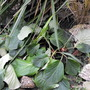 Poor Limp Elephant Ears :( (Bergenia purpurascens (Elephant's ears))