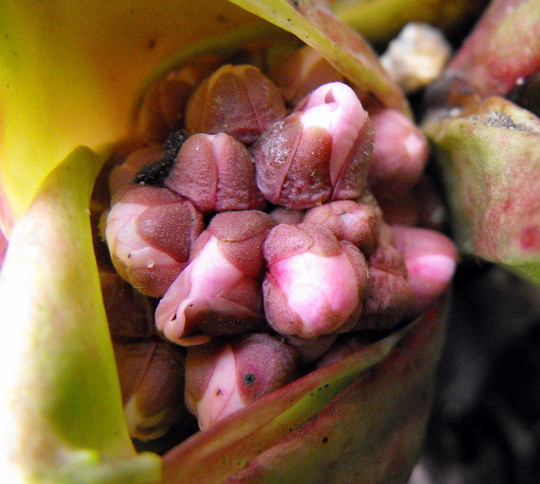 Elephant Ears Flower Bud  (Bergenia purpurascens (Elephant's ears))