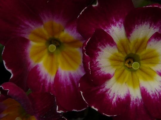 Primrose (Primula)