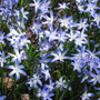 Glory of the Snow (Chionodoxa luciliae (Glory of the snow))
