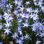 Glory of the Snow (Chionodoxa luciliae (Glory of the snow))