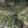 Blechnum occindentale  - Dwarf Tree Fern (Blechnum occindentale  - Dwarf Tree Fern)