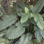 "Spathiphyllum 'Sensation""  (Spathiphyllum 'Sensation"")"