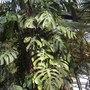 Monstera deliciosa - Split-leaf-Philodendron (Monstera deliciosa - Split-leaf-Philodendron)