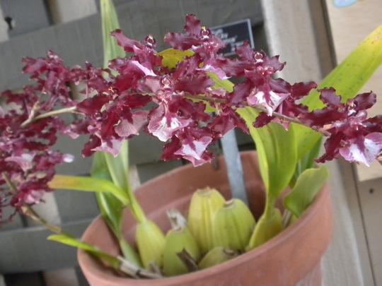 Oncidium Sharry Baby 'Sweet Fragrance' (Oncidium Sharry Baby 'Sweet Fragrance')