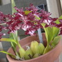 Oncidium Sharry Baby 'Sweet Fragrance' (Oncidium Sharry Baby 'Sweet Fragrance')