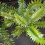 Cyrtomium falcatum - Holly Fern (Cyrtomium falcatum - Holly Fern)