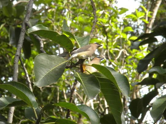 Birds eating Mysore Figs (Ficus mysorensis) (Ficus mysorensis - Mysore Fig)