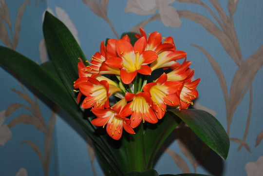 In full bloom......... (Clivia miniata (Clivia))