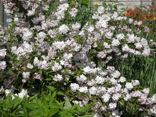 Deutzia (Deutzia rosea)