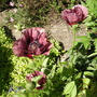 Oriental Poppy 'Patty's Plum' (Papaver orientale 'Patty's Plum')