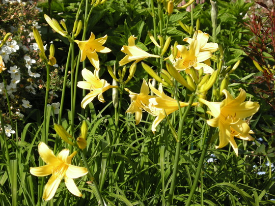 Hemerocallis (Hemerocallis lilioasphodelus (Lemon Lily))