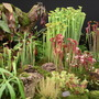 Pitcher plant stand at Chelea Flower Show