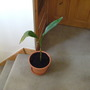 bananna plant repotted in bigger pot