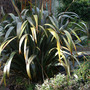 February Phormium (Phormium tenax (New Zealand flax))