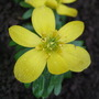 Eranthis cilicica (Eranthis cilicica)