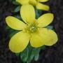 Eranthis cilicica (Eranthis cilicica)