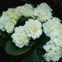 Double cream primrose