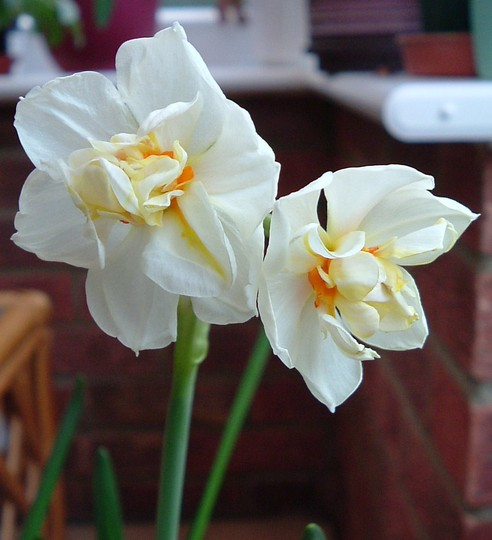 "Narcissus ""Bridal Crown"""