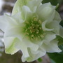 New_double_hellebore