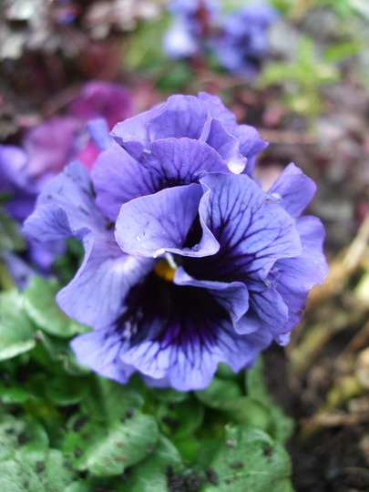 Pansy 'Frizzle'