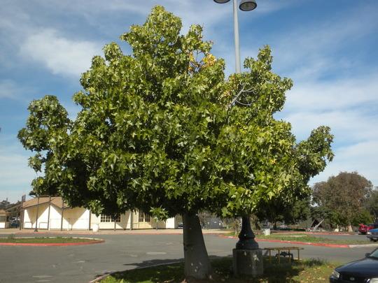 Brachychiton australis - Broad-leafed Bottle Tree, Large-leafed Kurrajong (Brachychiton australis - Broad-leafed Bottle Tree, Large-leafed Kurrajong)