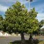 Brachychiton australis - Broad-leafed Bottle Tree, Large-leafed Kurrajong (Brachychiton australis - Broad-leafed Bottle Tree, Large-leafed Kurrajong)