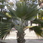 Pritchardia hillebrandii - Loulu, Molokaʻi Fan Palm (Pritchardia hillebrandii - Loulu, Molokaʻi Fan Palm)