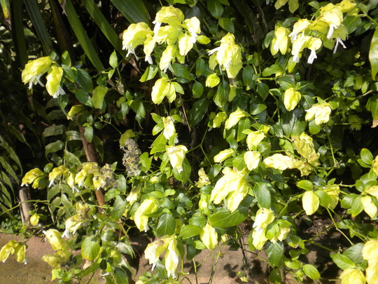 Justicia brandegeana lutea cv. 'Yellow Queen' (Justicia brandegeana lutea cv. 'Yellow Queen')