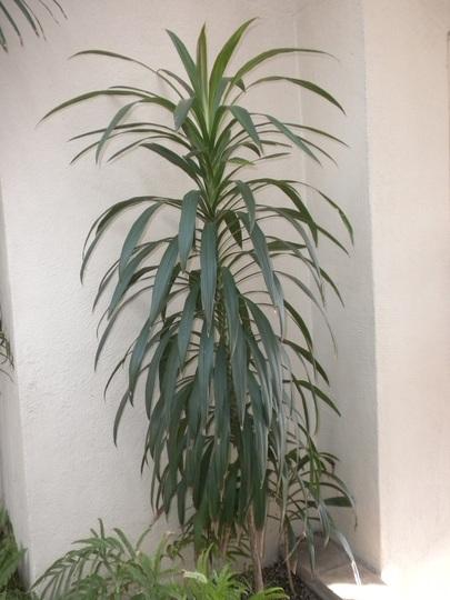 Cordyline stricta - Palm Lily (Cordyline stricta - Palm Lily)