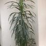 Cordyline stricta - Palm Lily
