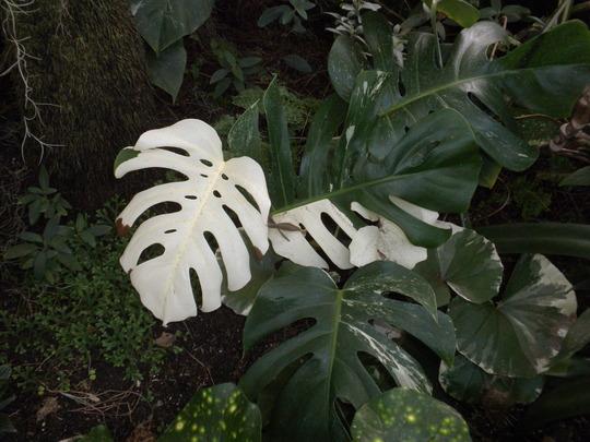 Monstera deliciosa 'variegata'  -  Variegated Split-leaf-Philodendron (Monstera deliciosa 'variegata'  -  Variegated Split-leaf-Philodendron)