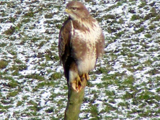 Look...........Buzzard  (Pic 2)