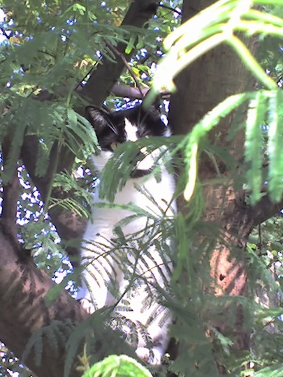 KyvaCat enjoying her favourite tree2009 (Acacia Dealbata/Mimosa)