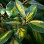Elaeagnus leaves (Elaeagnus x ebbingei (Elaeagnus))