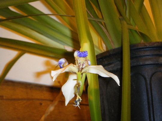 OMG! #3 (Neomarica gracilis)