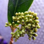 Flower Buds On The Baby Skimmia