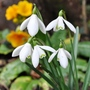 snow drops (Galanthus nivalis (Common snowdrop))