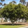 Ficus benjamina - Weeping Fig (Ficus benjamina - Weeping Fig)