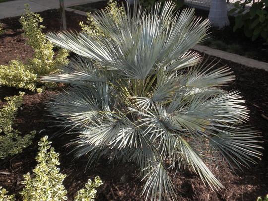 Chamaerops Humilis Cerifera Blue Mediterranean Fan