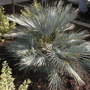 Chamaerops humilis &#x27;cerifera&#x27; - Blue Mediterranean Fan Palm (Chamaerops humilis &#x27;cerifera&#x27; - Blue Mediterranean Fan Palm)