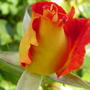 Harry Wheatcroft (floribunda rose)