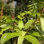 Sanchezia nobilis var. glaucophylla - Sanchezia (Sanchezia nobilis var. glaucophylla - Sanchezia)
