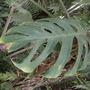 Monstera adansonii - Split Leaf Swiss Cheese Philodendron (Monstera adansonii - Split Leaf Swiss Cheese Philodendron)