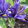 Iris_reticulata_springtime_